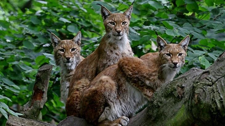 Lynx Trader